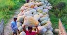নারায়ণগঞ্জে মিষ্টি কুমড়ার বাম্পার ফলন