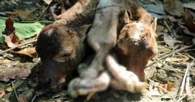 বরিশালে দুই মাথা ও ৬ পায়ের বাছুরের জন্ম